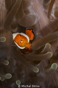 Juvenile clownfish and the sea anemone by Michal Stros