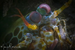Mantis shrimp under the snoot by Mario Robillard