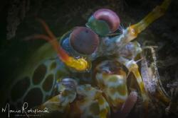 Mantis shrimp under the snoot by Mario Robillard