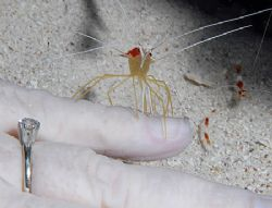 This Scarlet-Striped Cleaning Shrimp was happy to give my... by Jim Chambers