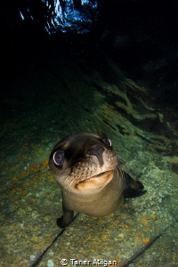 sea lion puppy (: by Taner Atilgan