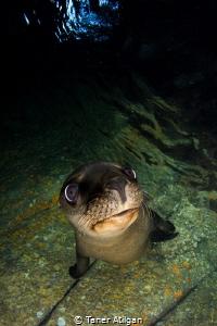 sea lion puppy (: by Taner Atilgan