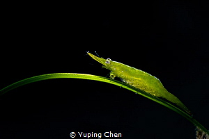 Bignose seagrass shrimp/Anilao,Philippine/Canon 5D MarkIV... by Yuping Chen