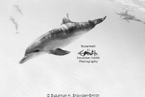"""Dolphins In High-Key"" - Spotted dolphins frolic in the w... by Susannah H. Snowden-Smith"