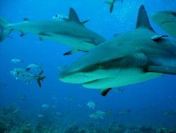 good shark/ cara a cara point by Frank Catrini