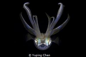 Flying in the Dark/Squid/Anilao,Philippine/Canon 5D MarkI... by Yuping Chen