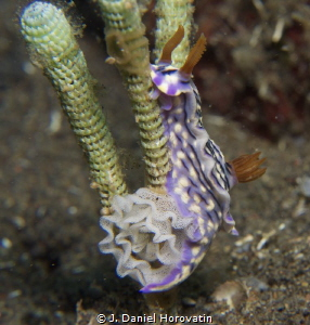 Nudibranch laying eggs by J. Daniel Horovatin