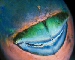 Parrotfish Mouth, with shrimp perched on his nose--Little... by Andrew Dawson