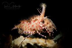 Marbled Shrimp-Anilao by Richard Goluch