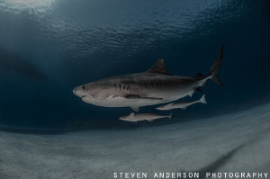 Clear water and happy reef systems promote healthy sharks... by Steven Anderson