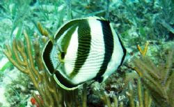 Banded Butterflyfish seen June 2006 at Marathon Key Flori... by Bonnie Conley