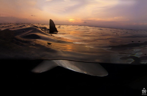 """""""Serenity""""  Oceanic Blacktip cruising quietly past as th... by Allen Walker"""