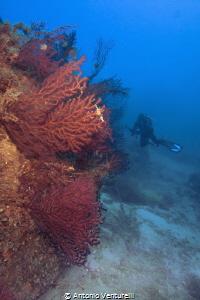 red gorgonians by Antonio Venturelli