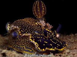 Felimare picta