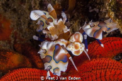 Harlequin shrimp using its needle like claws to ingest di... by Peet J Van Eeden
