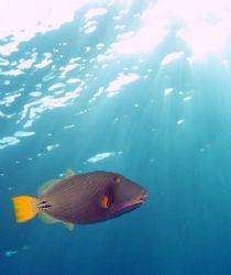 Orange striped triggerfish taken at Sharksbay with Olympu... by Nikki Van Veelen