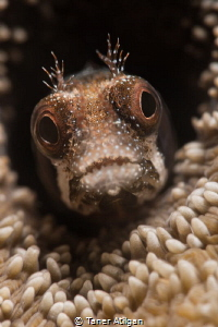 Secretary Blenny - 105mm vr + SMC - No crop by Taner Atilgan
