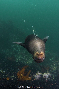 Relaxed Cape Fur Seal by Michal Stros