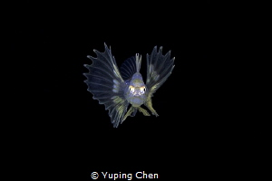 Lionfish lavar/Bonfire diving, Anilao,Philippine/Canon 5D... by Yuping Chen