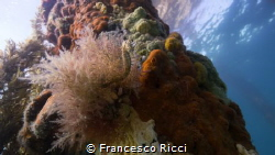 A baby Short-Headed Sea Horse hanging in between an explo... by Francesco Ricci