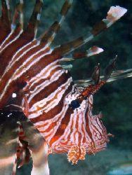 Lionfish taken with an olympus c60 by Anel Van Veelen