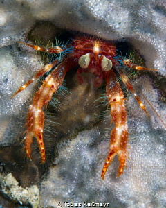 Bug-eyed squat lobster No.3, Montani, Puerto Galera by Tobias Reitmayr