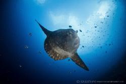 S U N F I S H  Mola Mola  Nusa Penida, Indonesia. by Irwin Ang