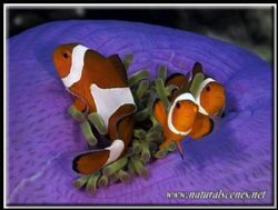 If two clown fish are better than one, what about three??? by Yves Antoniazzo