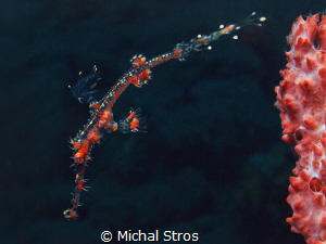 Ornate Ghost Pipefish by Michal Stros