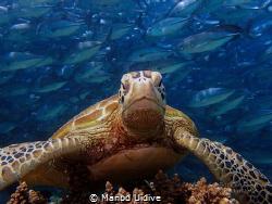 TURTLE Borneo Divers Mabul by Manbd Uidive