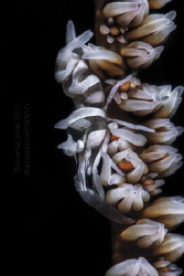 Dasycaris zanzibarica by Wayne Jones