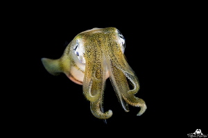Golden squid in night dive by Raffaele Livornese