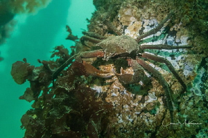 Red Rock Crab nestled on a piling at Dickman Mill Park, P... by Chris Mckenna