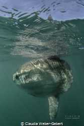 see the sun..... big Mola Mola..... by Claudia Weber-Gebert