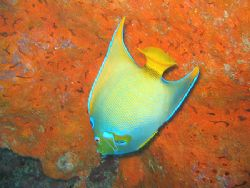 "Queen and Orange Sponge from ""Turtle Reef"", Grand Cayman.... by Brian Mayes"