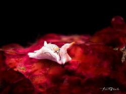 RED PLANET Psychedelic batwing slug by Ton Ghela