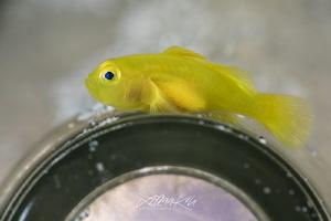 P A R K I N G  Lemon goby (Lubricogobius exiguus) by Lilian Koh