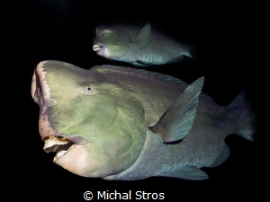 Bumphead Parrotfish near USS Liberty wreck (Tulamben) by Michal Stros