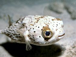 Party Balloon - Happy looking balloonfish on Calabas Reef... by Laszlo Ilyes