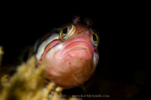 Tiny and curious klipfish poses in my snoot light. by Kate Jonker