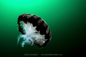 Towards the light Compass Jellyfish by Kate Jonker