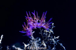 Flabellina in a tree by Ralf Schmidt