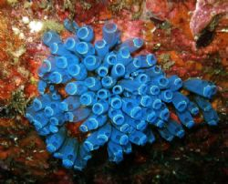Colony of blue sea squirts by Alex Lim