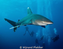 Oceanic Whitetip Shark by Wijnand Plekker