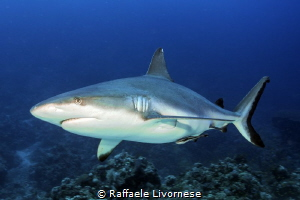 Grey reef shark by Raffaele Livornese