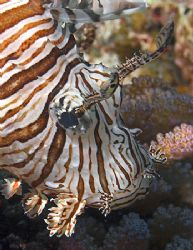 Lionfish from Fiji. Nikon D100 with 60mm lens. by Jim Chambers