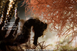 """""""Black Beauty"""" - Because of the seahorse's dark color, I ... by Susannah H. Snowden-Smith"""