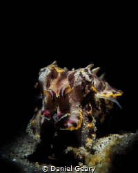 Flamboyant Cuttlefish - Snooted by Daniel Geary