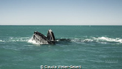 humpback feeding during the migration in South Africa - B... by Claudia Weber-Gebert