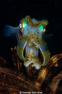 Cuttlefish with magnificant colors. by Mehmet Salih Bilal